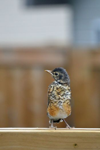 Alberta Animal Themes Baby Bird Backyard Bird Canada Fence Focus On Foreground Nature Nikon Nikon D3200 Nikonphotography No People Outdoors Robbin Selective Focus Spruce Grove, Alberta