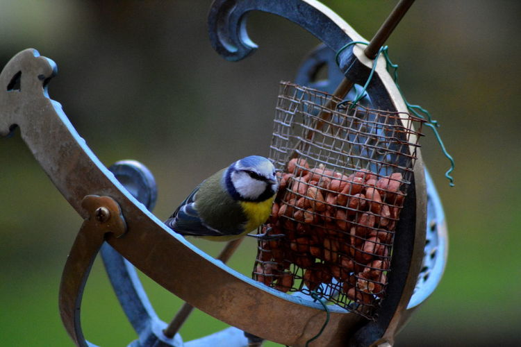 Animals In The Wild Bird Bird Photography Blue Tit Close Up Close-up Detail EyeEm Nature Lover Focus On Foreground Garden Birds Garden Photography No People One Animal Perching Selective Focus Wildlife