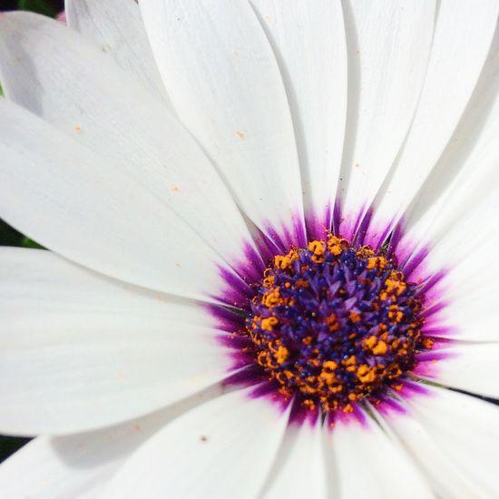 White Cape Daisy Flower White Flower Petals Purple Centre Flora Flowerporn