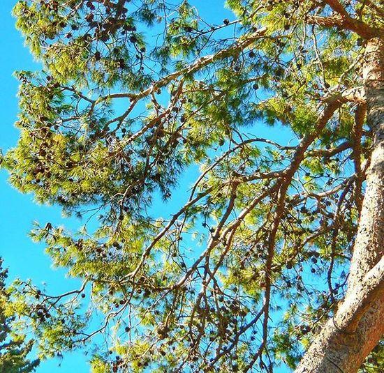 осень небо прогулкасхорошимчеловеком настроение утро шишки дерево флораифауна morning autumn tree sky world_best cone mood instaphoto instagram_israel instaisrael ig_israel instagram_israel_ picoftheday myisrael
