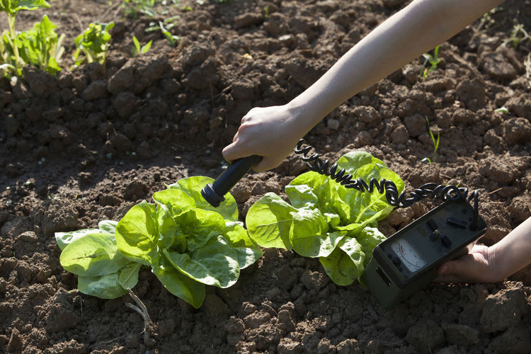 Measuring radiation levels of vegetables Biohazard Detection Measuring Radioactive Rays Of Light Agriculture Garden Gardening Geiger Counter Green Salad Growth Health Healthy Food Instrument Of Measurement Ionizing Radiation Lettuce Measurement Nature One Person Organic Plant Radiation Radiation Levels Radioactivity Toxic
