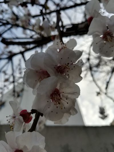 Flower Head Tree Flower Branch Springtime Petal Blossom Botany Close-up Plant Cherry Blossom Apple Tree Apple Blossom Plum Blossom Fruit Tree Stamen Pistil Cherry Tree Almond Tree Magnolia Hibiscus Rhododendron Orchard Prickly Pear Cactus Orange Tree Pollen Passion Flower Day Lily Twig Lily