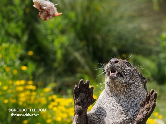 Otter catching a fish EyeEm Nature Lovers Nature_collection Wildlife Photographing Wildlife