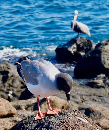 Seagull Pelican Rocks Sea Beach Two Birds Focus On Foreground Animal Themes Animals In The Wild Bird Animals In The Wild Animal Wildlife Rock - Object Water One Animal Nature Day Seagull No People Sea Bird Outdoors Perching Beauty In Nature Galapagos Islands The Great Outdoors - 2017 EyeEm Awards