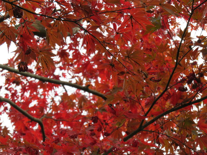 Nature Tree Beauty In Nature Low Angle View No People Red Leaf Day Maple Leaf 御船山 武雄 佐賀 Saga Japan Outdoors Tree