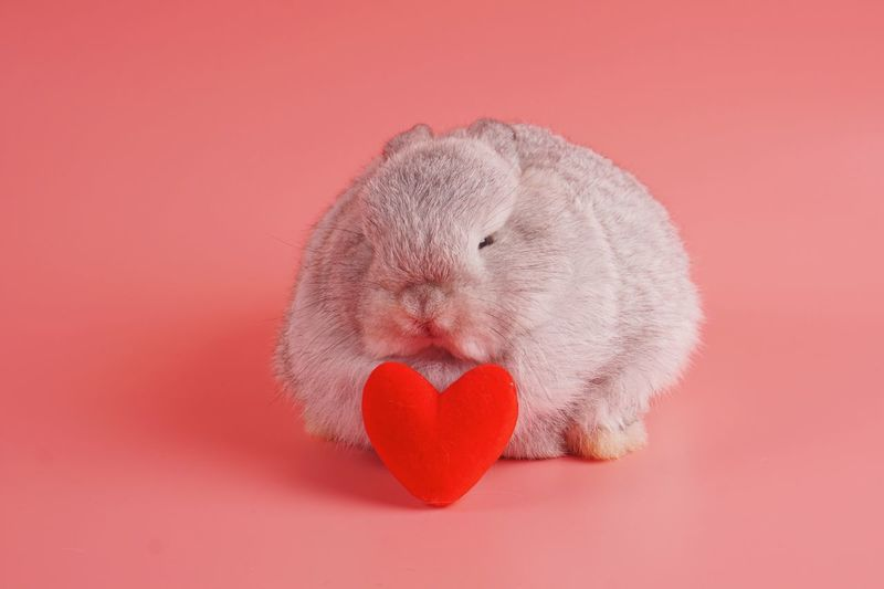 Light grey rabbit with heart shape decoration sitting on pink background Fur Chubby Hug Fluffy Bunny  Rabbit Valentine's Day Heart Shape Love Red Close-up Emotion Animal Pink Background Colored Background
