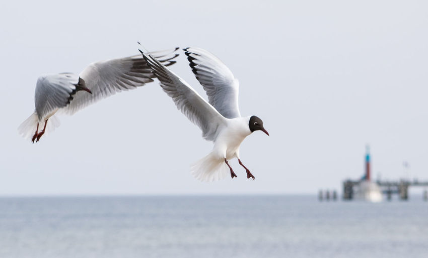 Low angle view of black-headed gulls flying against sea
