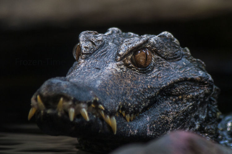 Alligator close up Animal Animal Themes Animals In The Wild Close-up Full Frame One Animal Reptile Wildlife Zoology