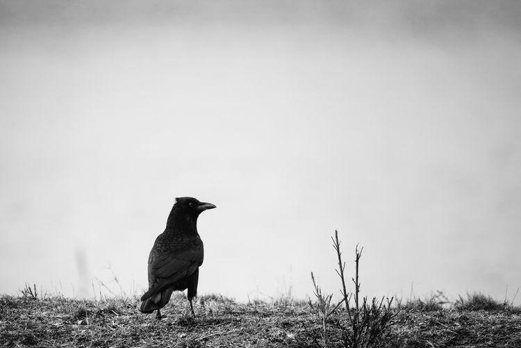 crow Crow Bird