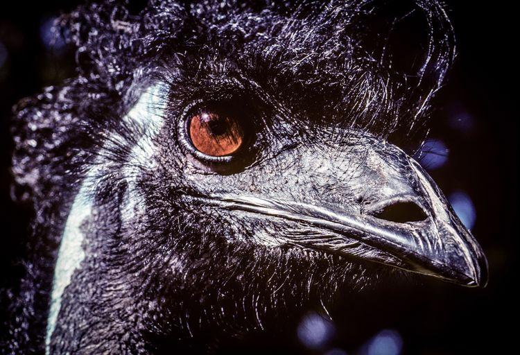 Close-up of emu looking away