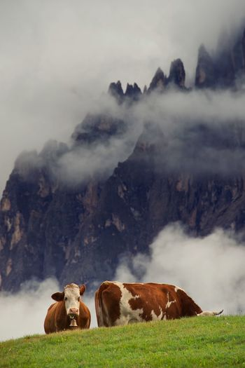 Cows on hill against mountain in foggy weather