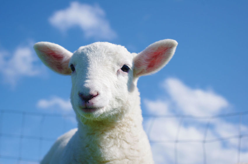 A Spring Lamb Baby IsleOfSkye Lamb Animal Themes Babylamb Beauty In Nature Blue Cheviot Close-up Croft Day Domestic Animals Lambing Livestock Mammal Nature No People One Animal Outdoors Portrait Scottish Highlands Sky Springtime Sunlight Sunnyday