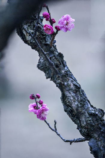 Plum blossom Close up Plum Blossom Plum Blossom Branches Spring Flowers Plum Blossom Views Close Up Flowering Plant Flower Pink Color Beauty In Nature Fragility Flower Head Freshness Plant Growth No People Macro Beauty Macro Springtime Blossoms Springtime Plum Blossom Branch