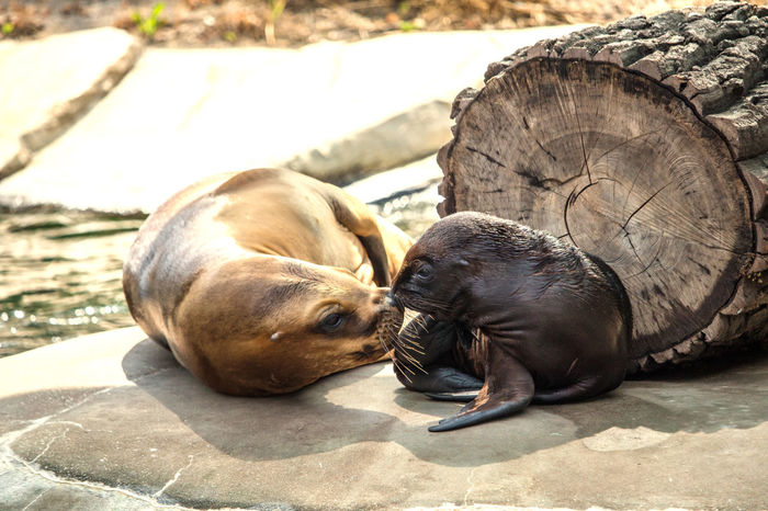 South American sea lion Animal Animal Themes Animal Wildlife Animals Baby And Mom Baby Animal Baby Animals Sea Life Aquarium Sea Lion Sea Lions South American Sea Lion Wildlife Wildlife & Nature Wildlife Photography Zoo Zoo Animals  Zooanimals ZooLife Zoology Zoophotography