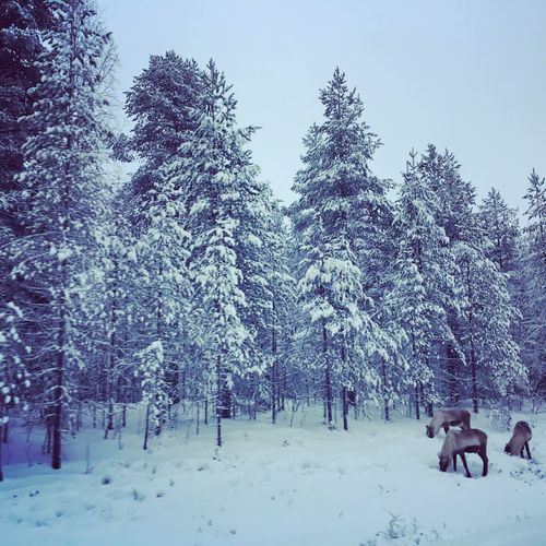 Dear Rendeer , Be aware of the Humans. Finland :) Lapland Rendeer Tree Snow Plant Cold Temperature Winter Nature Sky EyeEmNewHere