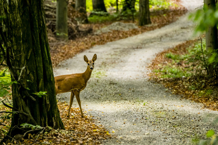 I see you... Animal Themes Beauty In Nature Deer Mammal No People One Animal Outdoors Slovenia Tree Wildlife Wildlife & Nature Wildlife Photography Zoology