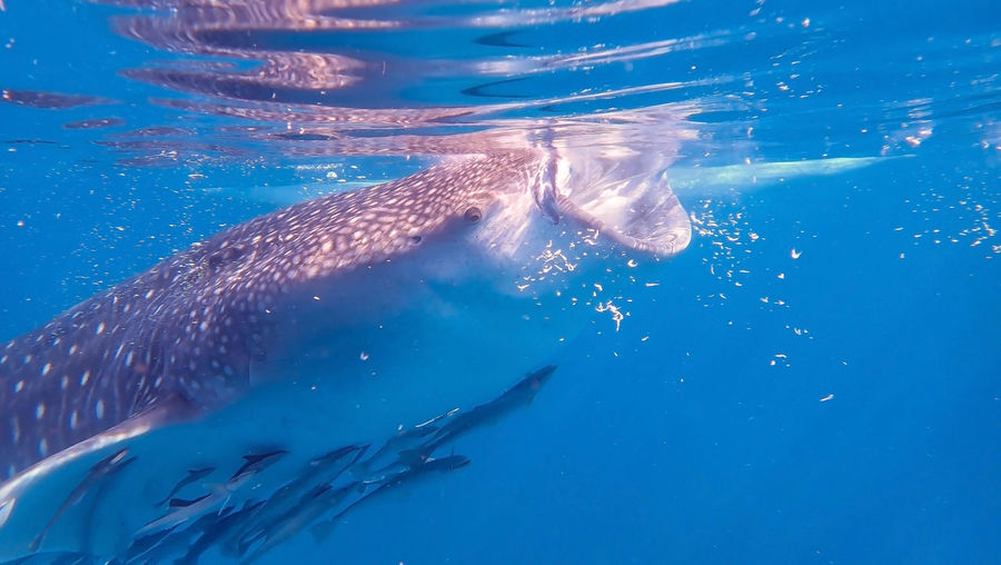 Whale shark, Oslob, Cebu, Philippines Cebu Philippines Cebu Island Oslop Philippines Philippines Cebu Bohol Philippines UnderSea Humpback Whale Whale Sea Life Water Swimming Whale Shark Scuba Diving Sea Underwater Shark Snorkeling Underwater Diving