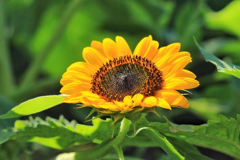 Beauty In Nature Flower Head Sunflower Yellow Outdoors No People Day Petals Close-up Leaves Of Green