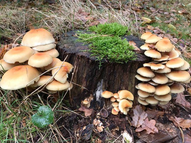 Paddenstoel Paddestoel Mushroom Mushrooms