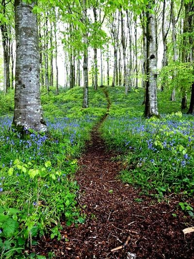 Bluebell woods Tree Tree Trunk Green Color Plant No People Nature Sunlight Bluebells Spring EyeEmNewHere Bluebells Spring Flowers Woods Trees