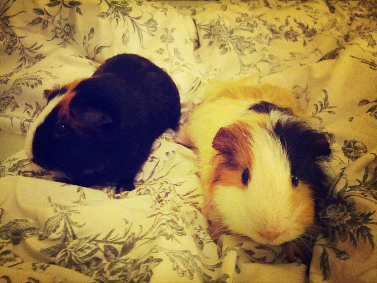 Guinea pigs on bed at home