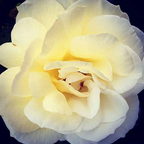 Rose🌹 Cream Rose Petals Flower Colours Of Nature Eyemphotography EyeEmFlower Throughmyeyes