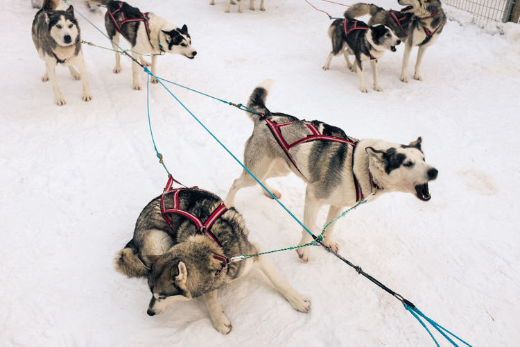 Sled Dogs On Snow