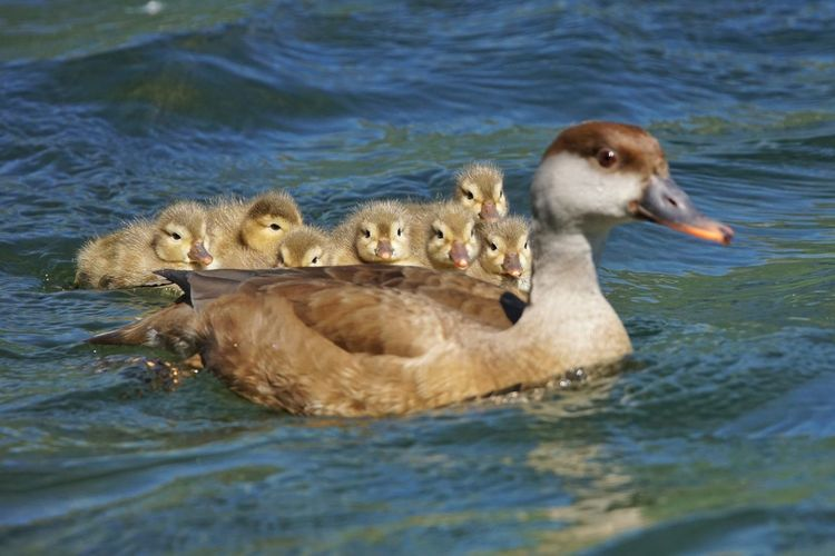 View Of Ducklings Swimming In Water