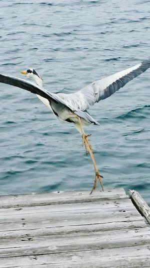 【Tokushima,Japan】Heron 鳴門 Raft Fishing Heron Customers Who Came In The Fishing Hobby Japan Fishing April Japan Spring Bird Sea Spread Wings