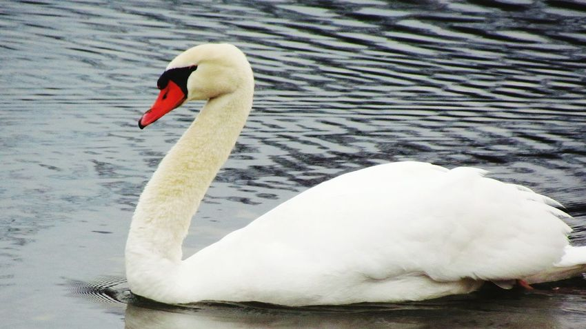 Swan Nature Beautiful Elegant Grace Beauty