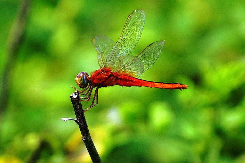 A red dragonfly with green background. Animal Animal Themes Animal Wildlife Animal Wing Animals In The Wild Beauty In Nature Close-up Day Dragonfly Flower Flower Head Focus On Foreground Green Color Growth Insect Invertebrate Nature No People One Animal Outdoors Plant Plant Stem Pollination Red Color Dragonfly Red Dragonfly