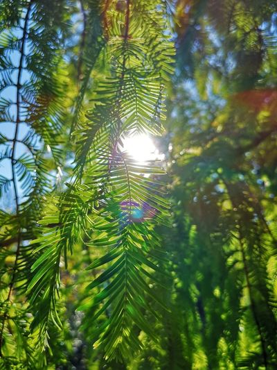 Reflection Beauty In Nature Branch Coniferous Tree Day Focus On Foreground Forest Green Color Growth Leaf Low Angle View Nature No People Outdoors Pine Tree Plant Plant Part Sunlight Tranquility Tree