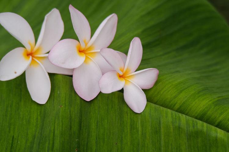 Close-up of white frangipani on leaves