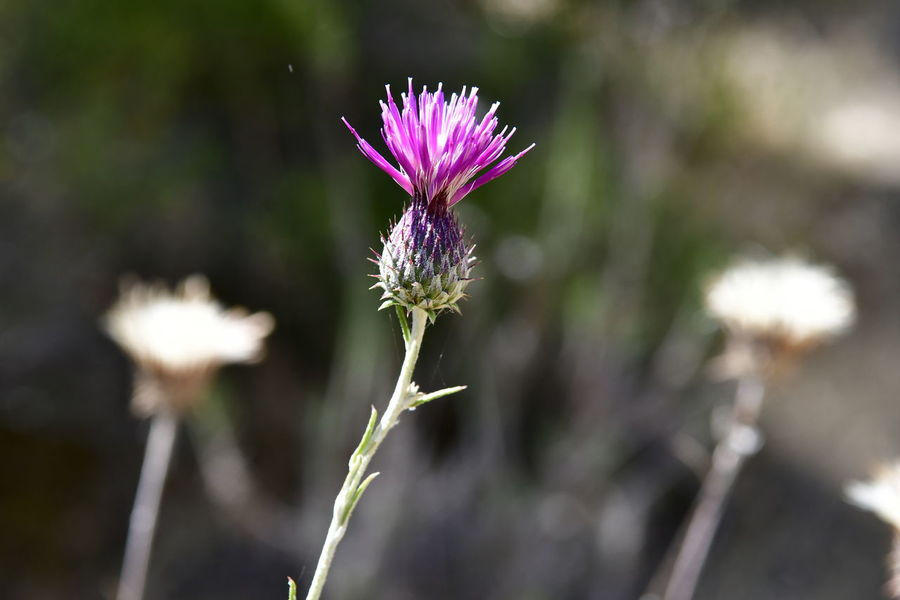 centaurea akamantis and other wild mountain flowers in Cyprus very rare Centaurea Gymnocarpa Velvet Centaurea EyeEm Best Shots Beauty In Nature Centaurea Centaurea Akamantis Close-up Enjoying Life Eye Flower Flower Head Flowering Plant Focus On Foreground Fragility Freshness Growth Inflorescence Mountain Flowers Nature No People Outdoors Plant Plant Stem Rare Flowers Sepal Vulnerability
