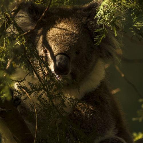 Close-up portrait of koala on tree
