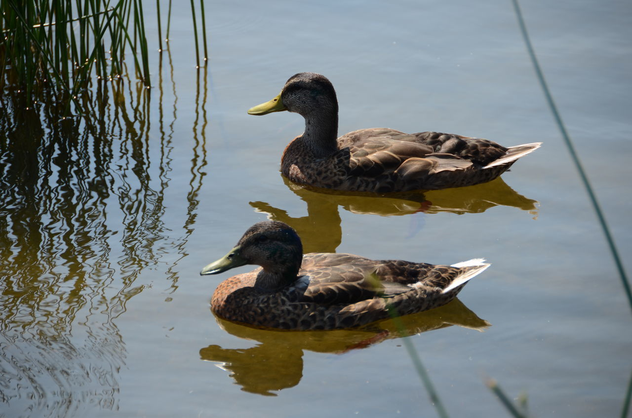 animal themes, animals in the wild, bird, duck, wildlife, lake, water, swimming, zoology, mallard duck, reflection, nature, tranquility, water bird, animal, waterfront, beak, avian, day, beauty in nature, no people, standing water, water surface, tranquil scene