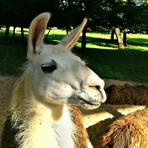 Enjoying The Sunset Support Your Local Llama !!!
