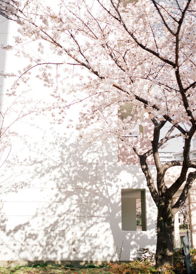 Low angle view of cherry blossom tree against sky