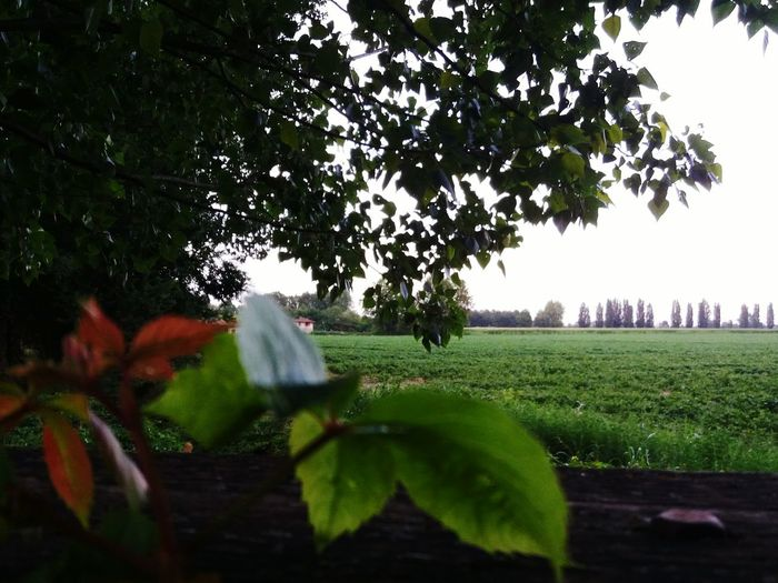 Green in Peschiera Tree Agriculture Nature Growth Outdoors Rural Scene Landscape No People Day Grass Beauty In Nature Sky EyeEmNewHere Scenics Azur Peschiera Borromeo Sommergefühle