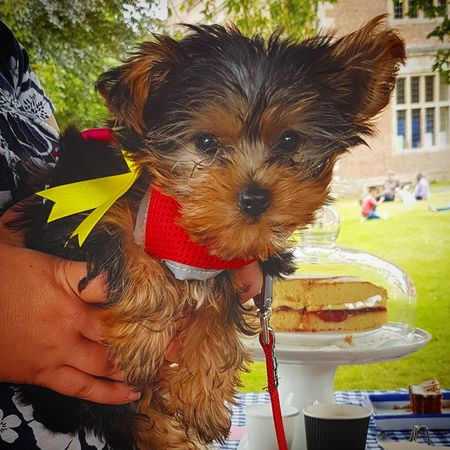 Puppy & Cake Puppy Dog Dogs Of EyeEm Cake Sponge Cake Cute Pets Cute Pet Grass Sun Human Hand Pets Dog Portrait Looking At Camera Close-up Pet Clothing Yorkshire Terrier Pet Owner Terrier Puppy Pet Leash Pet Equipment The Great Outdoors - 2018 EyeEm Awards