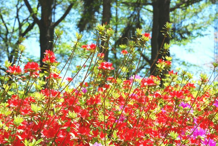 a royal azalea blossom Red Beauty In Nature Love Festival Green No People Sky Korea Improvement Colors Tree Nature Clear Sky Flower Azalea Spring 2017 Flowers 🌸🌸🌸 Sunshine ☀ Backgrounds Forest Bright Blue Sky Travel Sunny Cloud - Sky