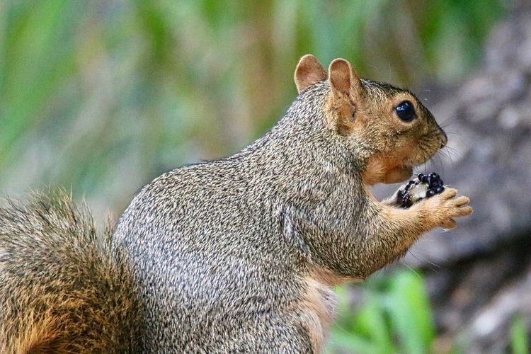 Eating Squirrel Squirrel Photo Wild Animal Wildlife Photography Animal Themes Animal Wildlife Animals In The Wild Close-up Day Eating Focus On Foreground Food Mammal Nature No People One Animal Outdoors Squirrel Squirrel Closeup Squirrel Eating Squirrel Friend  Squirrel Photography Squirrelwatching Wild Wildlife