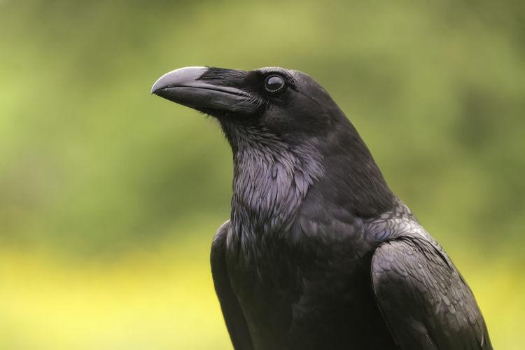 Corvus Corax Raven Animal Themes Animal Wildlife Animals In The Wild Beak Bird Bird Of Prey Close-up Crow Day Focus On Foreground Nature No People One Animal Outdoors Perching Raven - Bird