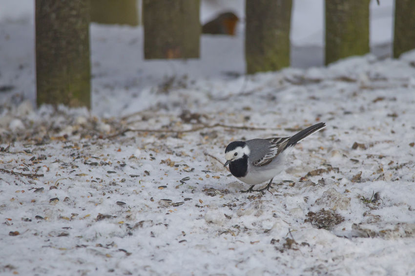A wagtail runs freezing through the snow at a feeding place in the forest looking for food Animal Themes Animal Wildlife Animals In The Wild Bird Close-up Day Nature No People One Animal Outdoors Winter