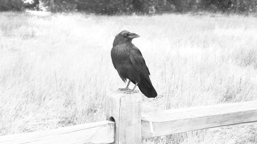 Raven Alone Beak Bird Photography Birds_collection Birds🐦⛅ Black & White Crow EyeEm Birds Forest On The Log Raven Black And White Friday