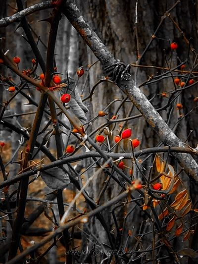 Orange Color Thorny Breyer Branch Red Nature Twig Beauty In Nature No People Day Outdoors Fruit Close-up Tree AI Now