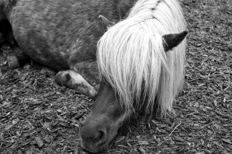a pony resting