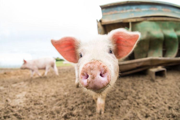 Close-Up Portrait Of A Pig