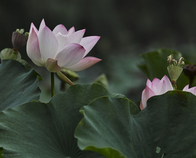 Growing Lotus