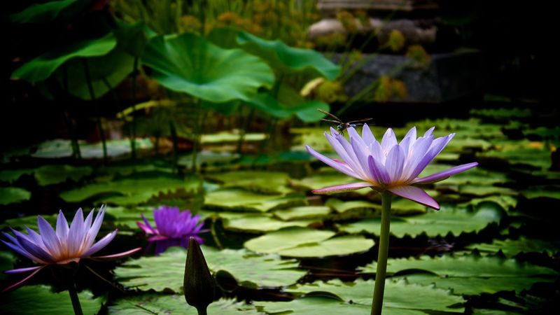 Flower Fragility Nature Freshness Beauty In Nature Petal Plant Leaf Flower Head Blooming Growth Water Lily Lotus Flower Nature Photography Tnkarts Water Klmfoto Lotus Water Lily Floating On Water Lotus Close-up No People Outdoors Lily Pad